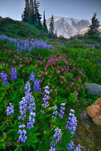 Wildflowers along Skyline Trail, Mount Rainier National Park