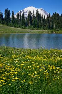 Broadleaf Arnica at Tipsoo Lake
