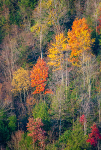 Autumn Trees, Blackwater Falls State Park, WV