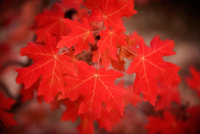 Maple Leaves, Zion National Park
