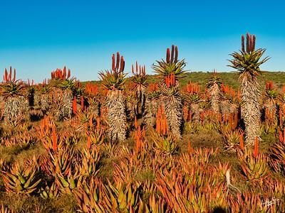 Aloe Sunset, Makhanda
