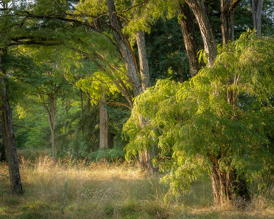 Evening light on Locust trees.  Champoeg State Park, Oregon.