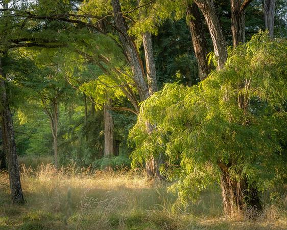 Evening light on Locust trees.  Champoeg State Park, Oregon.