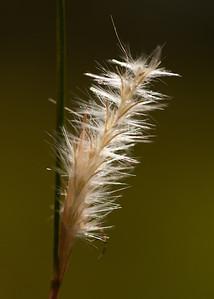 Splitbeard Bluestem (Andropogon ternarius [Poaceae]), Ocala National Forest, Florida