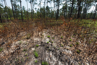 Shrub-dominated Groundcover, DeSoto National Forest, Mississippi