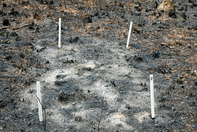 Fire Experiment, Camp Whispering Pines, Louisiana. In this treatment, additional fuels (pine needles) were added to plots just before a prescribed fire to increase local fire intensity (see previous photo).