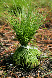 Competition Experiment, Camp Whispering Pines, Louisiana. In one treatment, the foliage of a dominant bunchgrass,  Slender Bluestem (Schizachyrium tenerum [Poaceae]), was bound vertically after a prescribed fire to increase space and light levels.