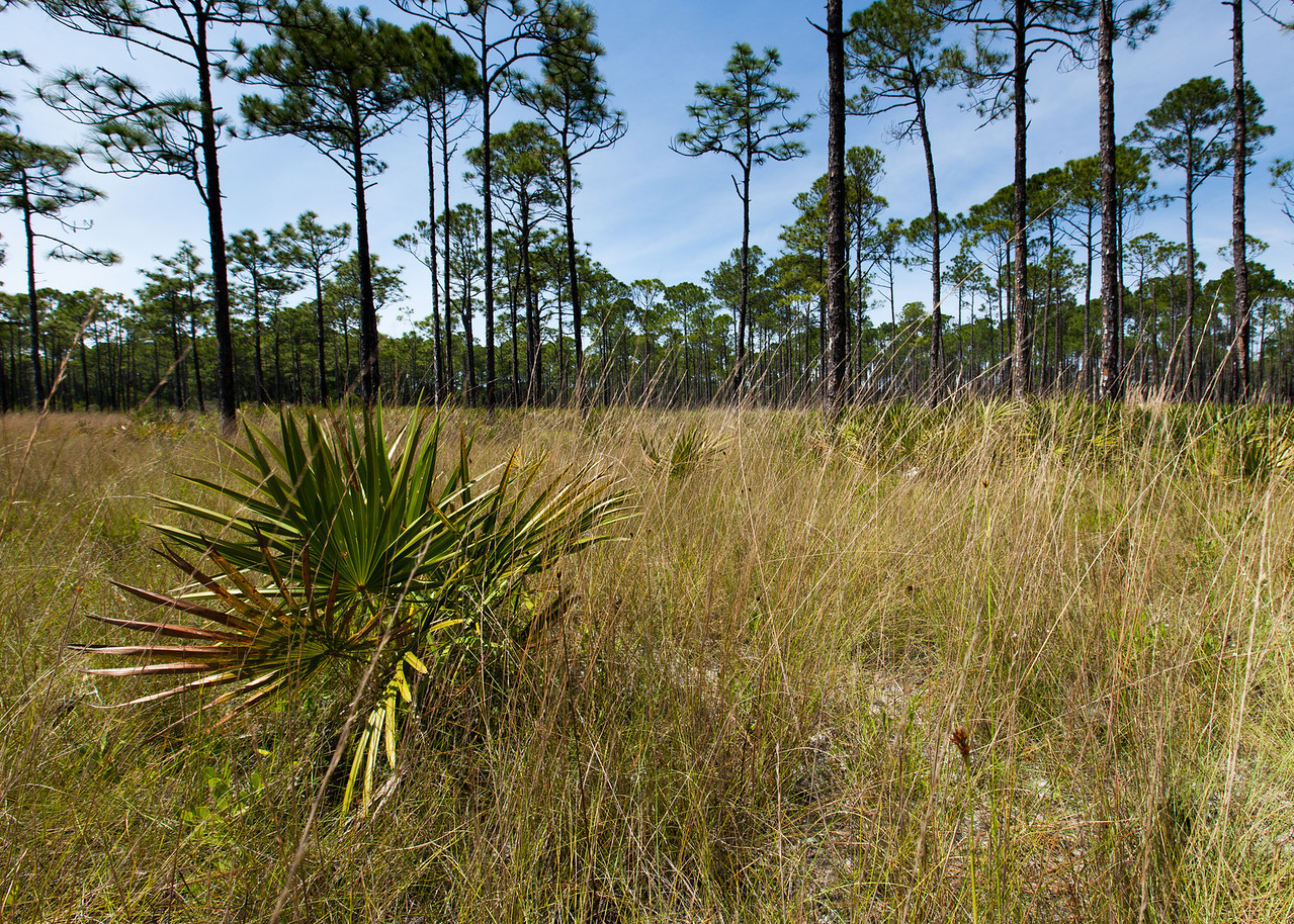 Saw Palmetto (Serenoa repens [Arecaceae]), St. Joseph Bay State Buffer Preserve, Florida