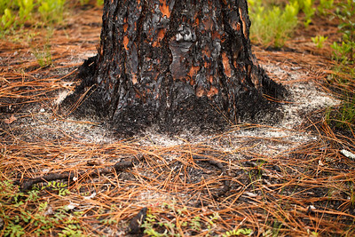 Open groundcover around pine tree, Ocala National Forest, Florida