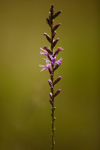 Shortleaf Blazing Star (Liatris tenuifolia [Asteraceae]), Eglin Air Force Base, Florida
