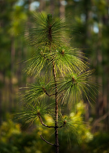 Longleaf Pine Sapling (Pinus palustris [Pinaceae]), Ocala National Forest, Florida