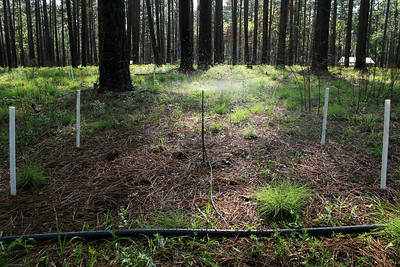 Irrigation Experiment, Camp Whispering Pines, Louisiana. In this treatment, additional fuels (pine needles) were added just prior to a prescribed fire to increase local fire intensity. After the fire, the plot was irrigated to increase soil moisture.