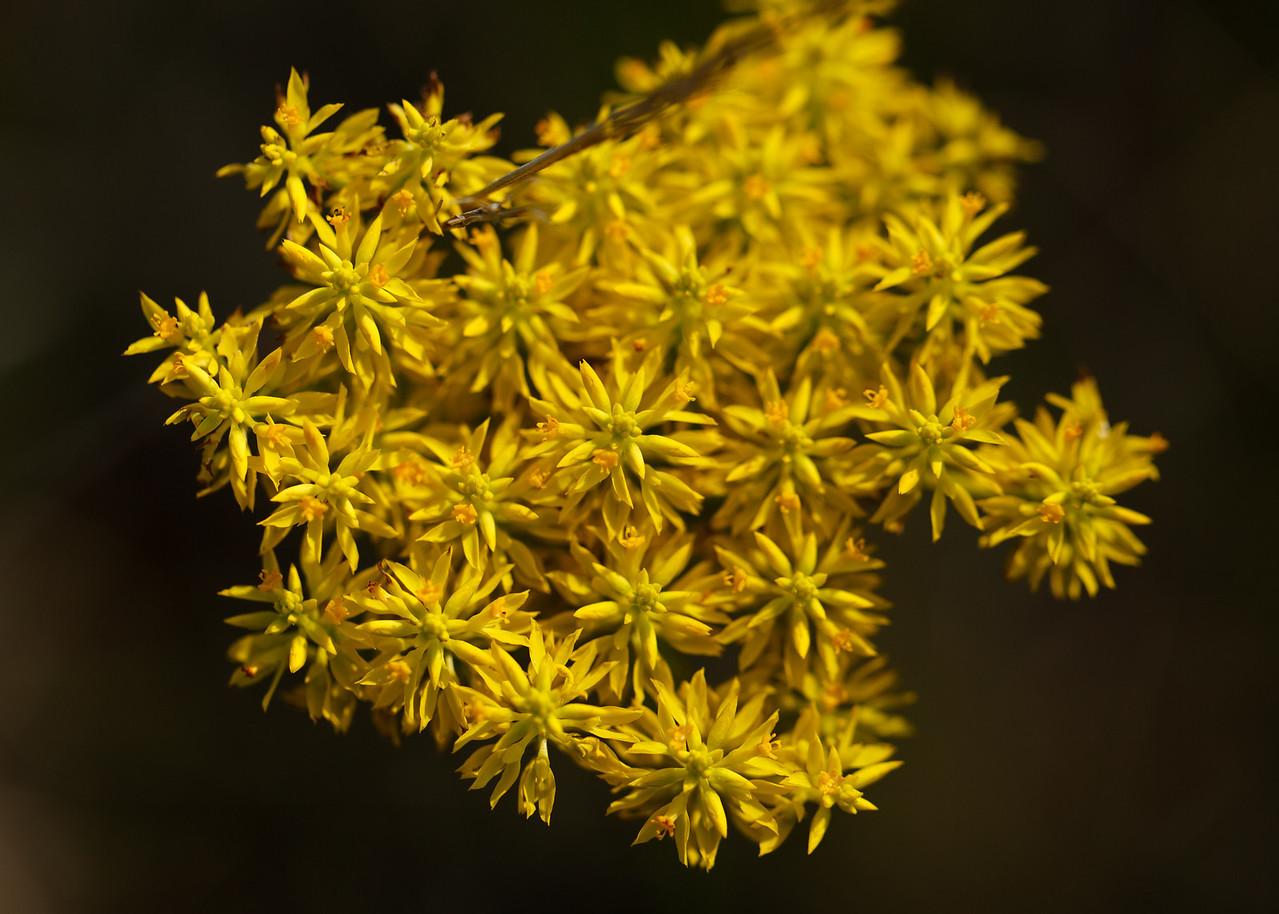 Polygala sp. (Polygalaceae), St. Joseph Bay State Buffer Preserve, Florida.