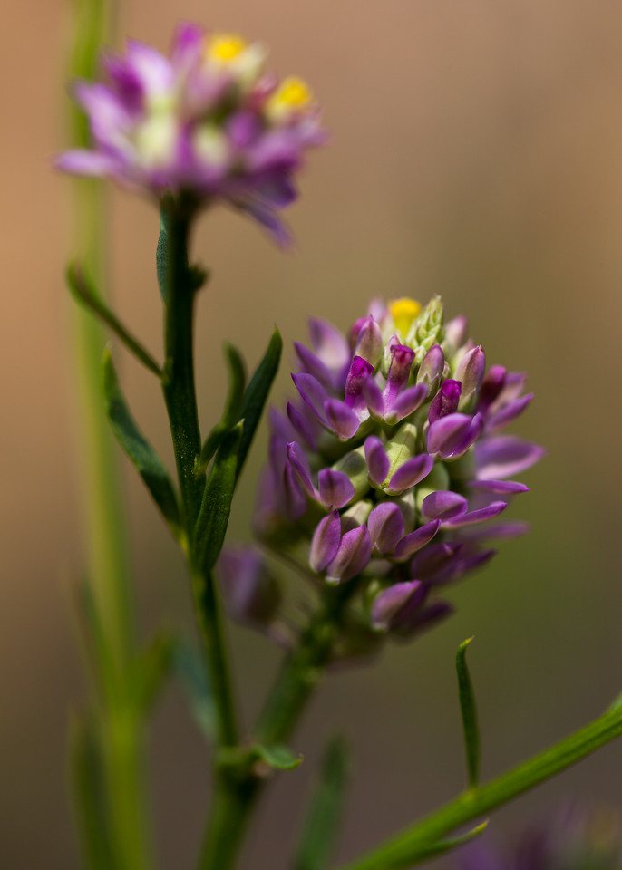 Polygala sp. (Polygalaceae), DeSoto National Forest, Mississippi