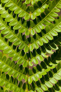 Fern Leaf, DeSoto National Forest, Mississippi