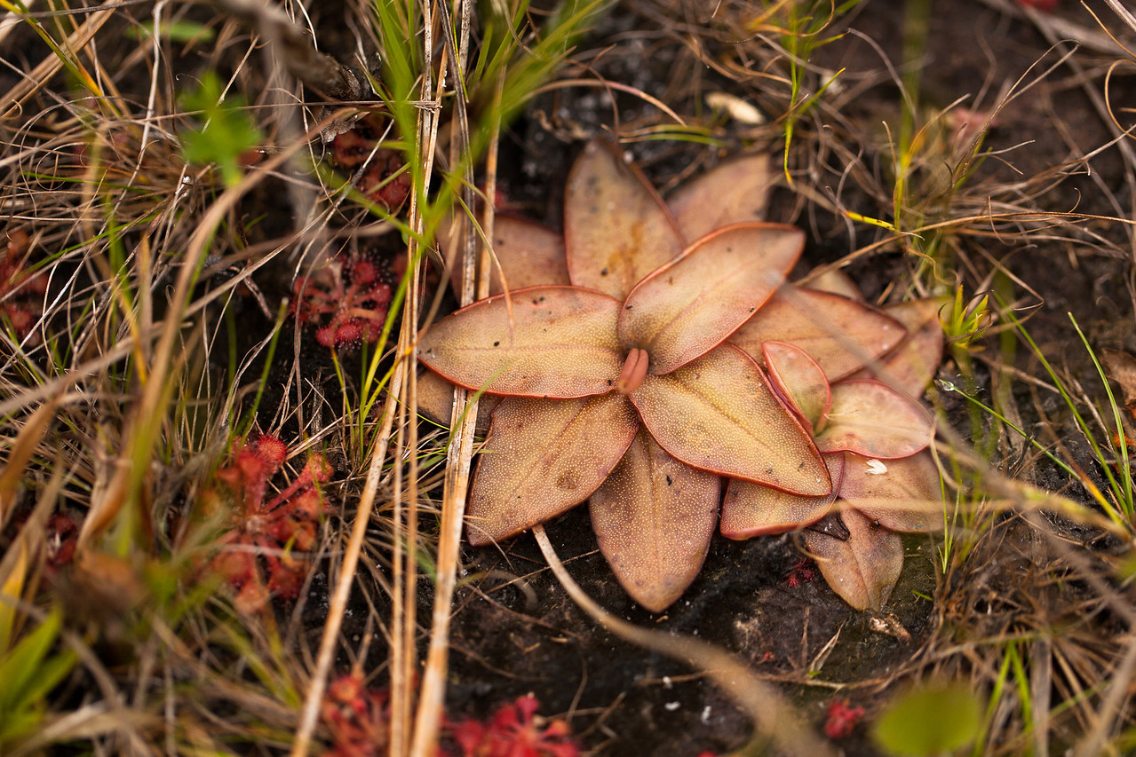 Butterwort (Pinguicula sp. [Lentibulariaceae]), Apalachicola National Forest, Florida