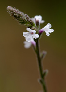 Carolina False Vervain (Stylodon carneum [Verbenaceae]), Ocala National Forest, Florida