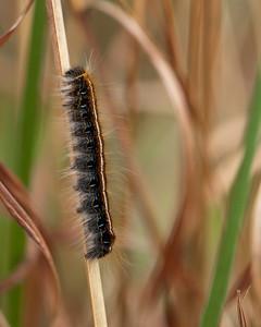 Caterpillar, Camp Whispering Pines, Louisiana