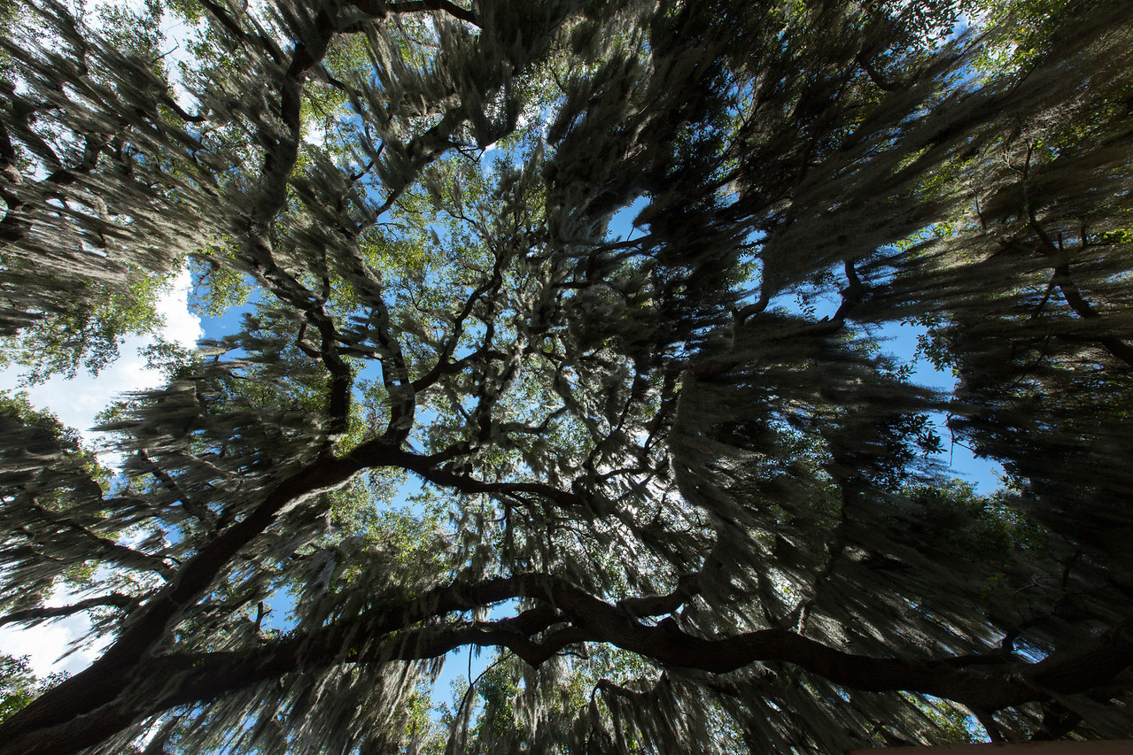 Spanish Moss (Tillandsia usneoides [Bromeliaceae]) on Live Oak (Quercus virginiana [Fagaceae]), Gainesville, Florida