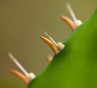 Pricklypear (Opuntia humifusa [Cactaceae]), Ocala National Forest, Florida