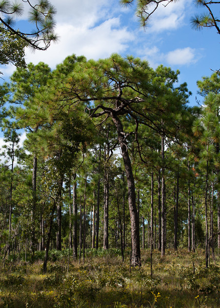 Longleaf Pine (Pinus palustris [Pinaceae]), Eglin Air Force Base, Florida