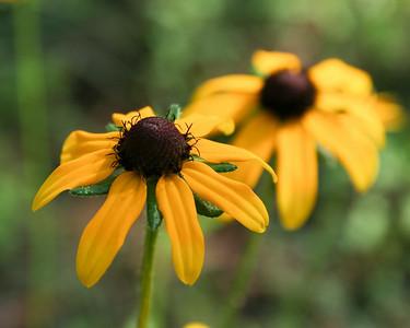 Blackeyed Susan (Rudbeckia hirta [Asteraceae]), Camp Whispering Pines, Louisiana