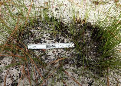 Bunchgrass, Ocala National Forest, Florida