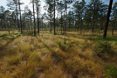 "Longleaf Pine ""Island"" in Sand Pine Scrub, Ocala National Forest, Florida"