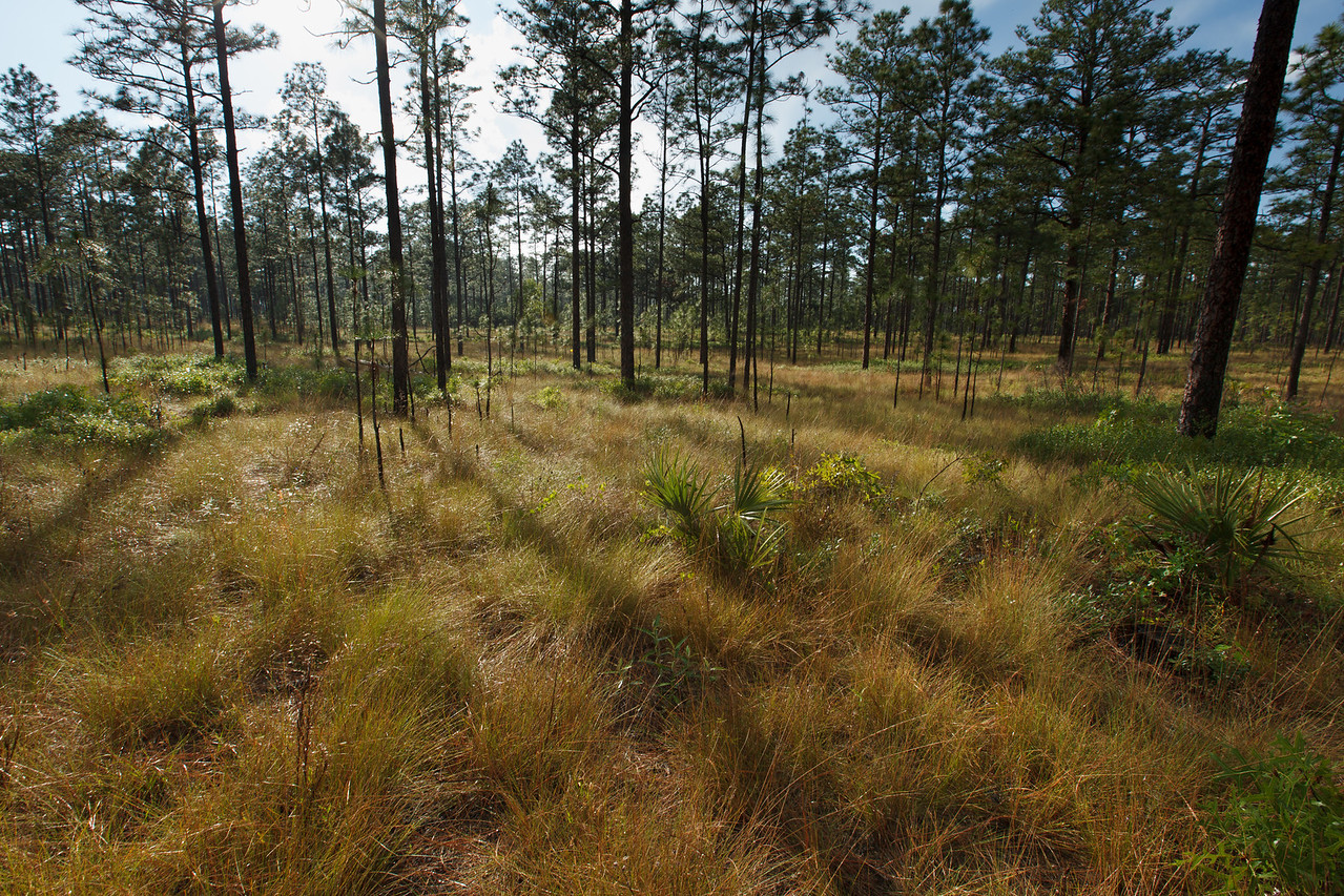 "Longleaf Pine ""Island"" in Sand Pine Scrub, Ocala National Forest, Florida"