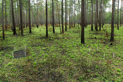 Fire Experiment, Camp Whispering Pines, Louisiana. Additional fuels (pine needles) were added to the plot on the left just prior to a prescribed fire; the control plot on the right did not receive additional fuels. This photo was taken ~ 2 weeks after a prescribed fire.