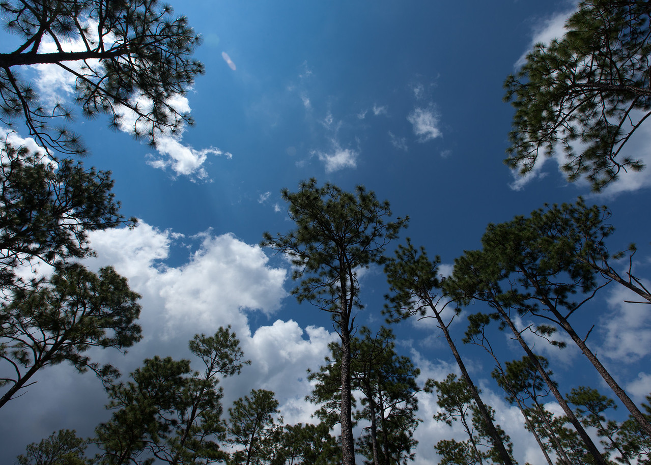 Longleaf Pine Canopy (Pinus palustris [Pinaceae]), Eglin Air Force Base, Florida