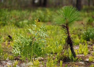 Oak and Pine Tree Regeneration, Ocala National Forest, Florida