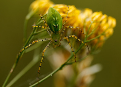 Lynx Spider (Oxyopidae), Eglin Air Force Base, Florida