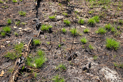 Bunchgrasses resprouting following fire, DeSoto National Forest, Mississippi
