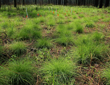 Competition Experiment, Camp Whispering Pines, Louisiana. In one treatment, a dominant bunchgrass, Slender Bluestem (Schizachyrium tenerum; foreground), was removed from experimental plots (background) with herbicide.
