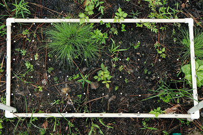 Groundcover Plot ~2 weeks after Prescribed Fire, Camp Whispering Pines, Louisiana.