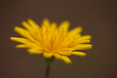 Carolina Desert-Chicory (Pyrrhopappus carolinianus [Asteraceae]), Camp Whispering Pines, Louisiana