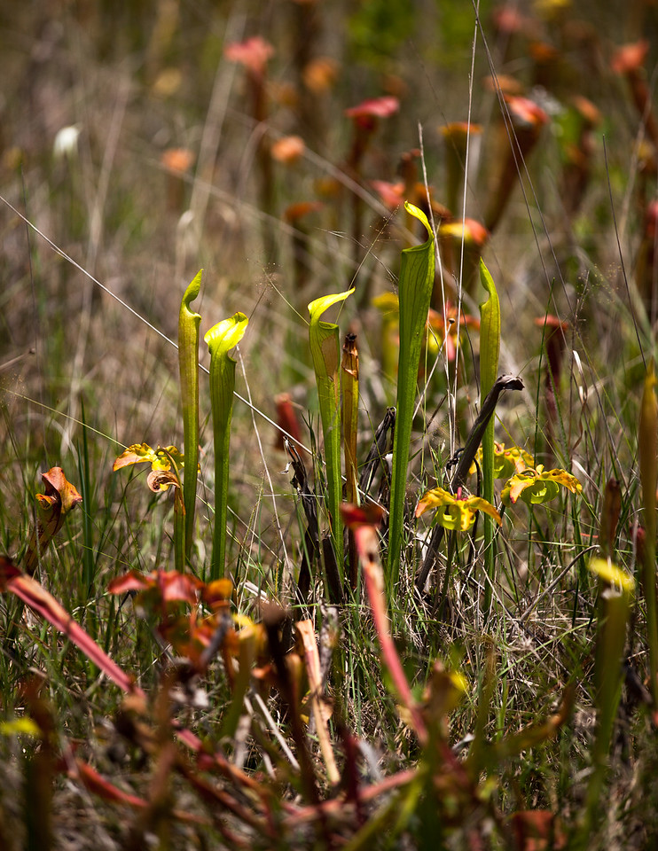 Yellow Pitcherplant (Sarracenia alata [Sarraceniaceae]), DeSoto National Forest, Mississippi