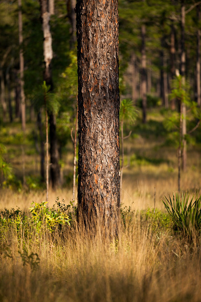 Longleaf Pine (Pinus palustris [Pinaceae]), Ocala National Forest, Florida