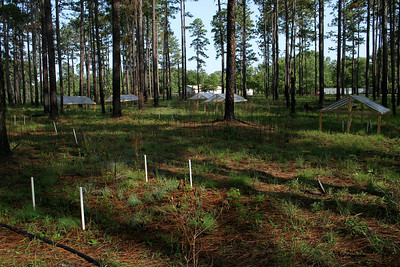 Drought Experiment, Camp Whispering Pines, Louisiana