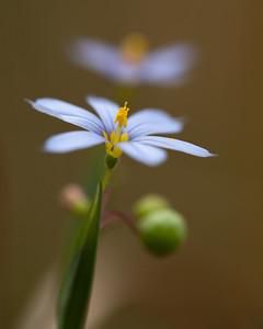 Eastern Blue-Eyed Grass (Sisyrinchium atlanticum [Iradaceae]), Camp Whispering Pines, Louisiana