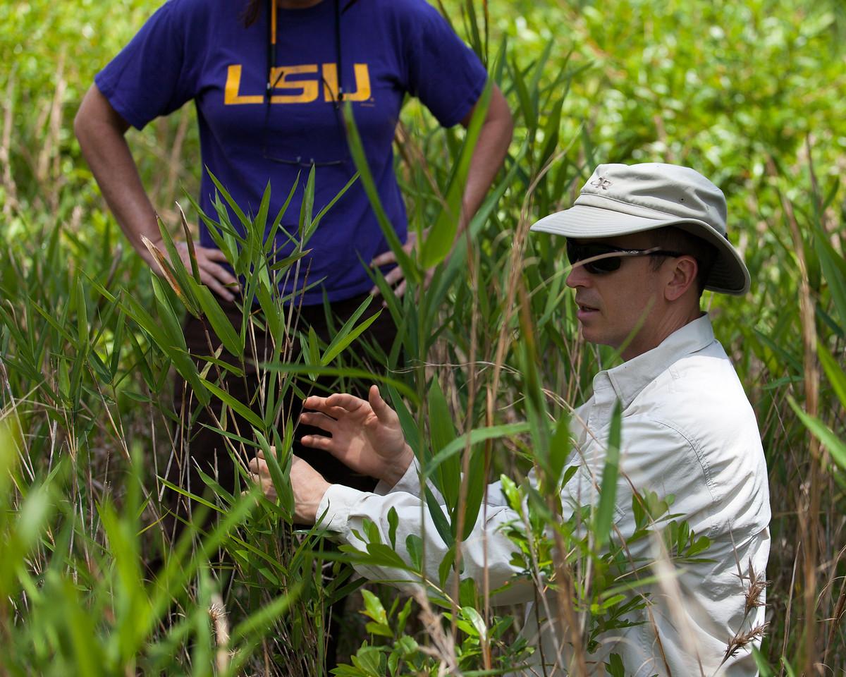 Switchcane (Arundinaria tecta [Poaceae]). Blackwater River State Park, Florida