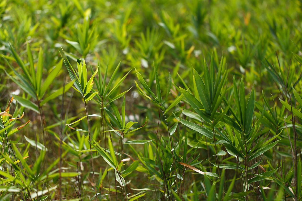 Switchcane (Arundinaria tecta [Poaceae]). Eglin Air Force Base, Florida
