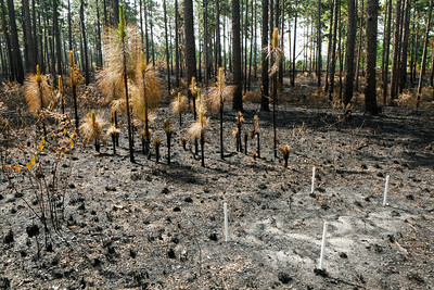 Post-fire Landscape, Camp Whispering Pines, Louisiana