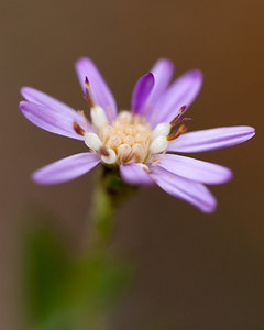 Eastern Silver Aster (Symphyotrichum concolor [Asteraceae]), Ocala National Forest, Florida