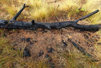 Postfire Microsite, Ocala National Forest, Florida