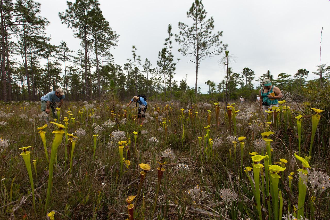 Pitcherplant Community, Apalachicola National Forest, Florida