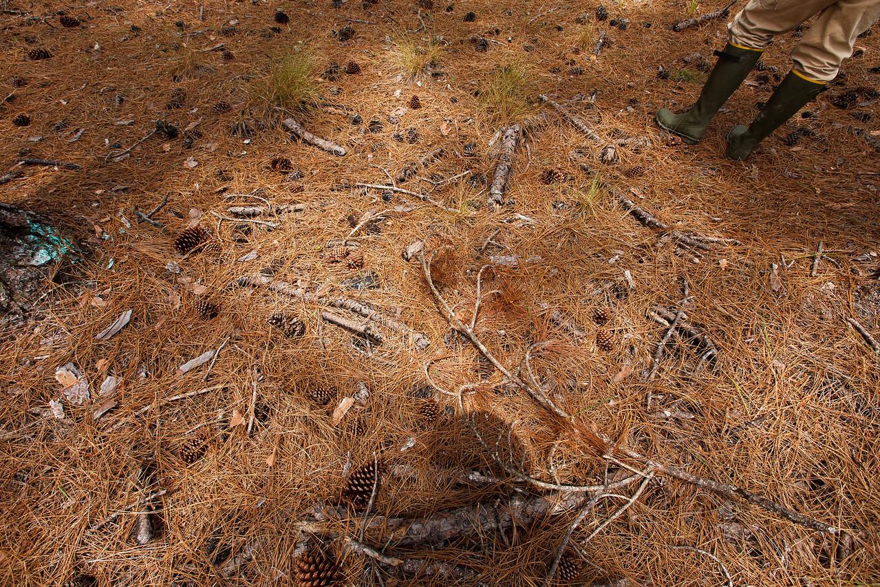 Groundcover in Slash Pine Plantation, Apalachicola National Forest, Florida