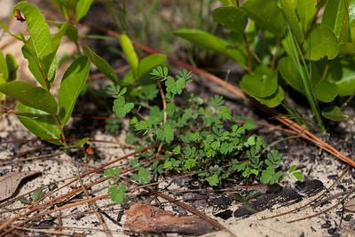 Hoarypea (Tephrosia sp. [Fabaceae]), Ocala National Forest, Florida