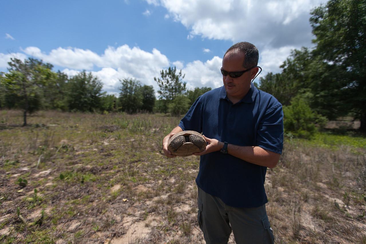 Gopher Tortoise (Gopherus polyphemus), Ordway-Swisher Biological Station, Florida